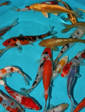 Qss aquarium koi centre for Aquarium koi fish for sale
